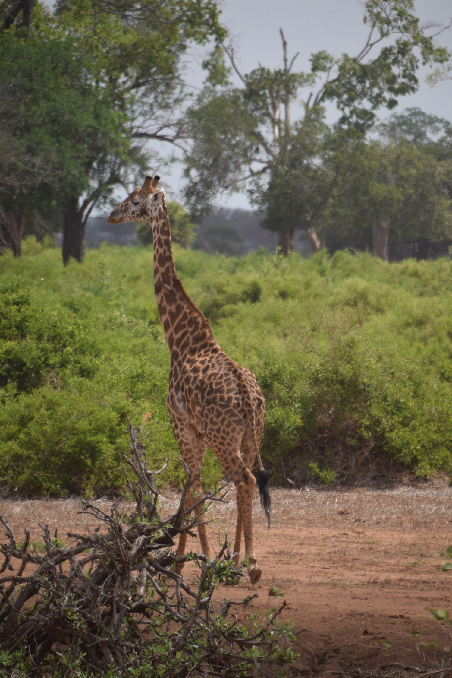 30-Tsavo-East-Gamedrive-171